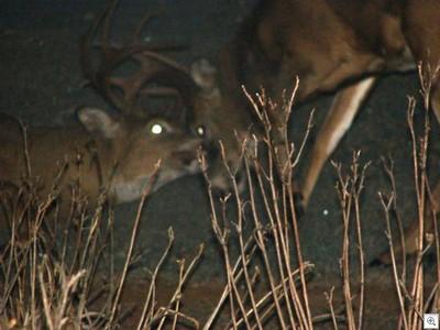 Deerpic2